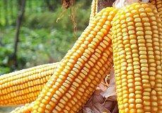 全国玉米动态一览 华北玉米价格领涨全国
