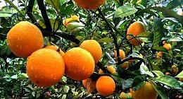 中粮发力区块链农业 首批拥有独特身份证的链橙大受欢迎