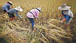 大米价格上涨势不可挡 CBOT小麦期货价格亦不甘落后