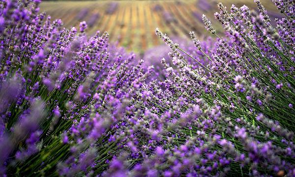 lavender-4087305_1280