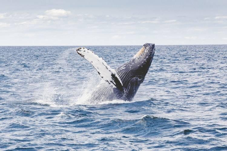 """""""巨鲸""""囤积比特币 持有超过1000枚比特币地址数量增长并创新高"""